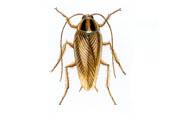 duitse kakkerlak