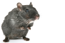 rat staand