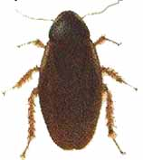 surinaamse kakkerlak