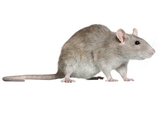 Ratten bestrijding